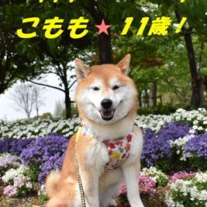 柴犬こもも☆11歳のバースディ♪