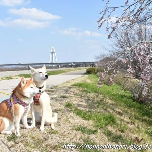 木曽川堤で桜散歩♪ vol.5