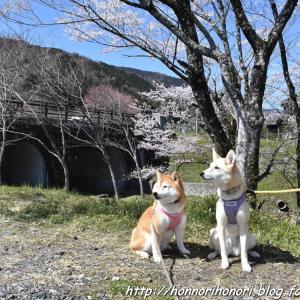 霞間ヶ渓で桜散歩♪ vol.1