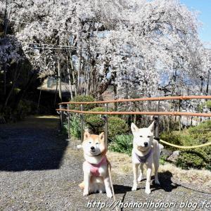 霞間ヶ渓で桜散歩♪ vol.5