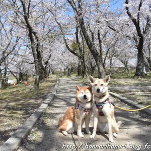 宮川堤で桜散歩♪ vol.1
