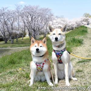 宮川堤で桜散歩♪ vol.2