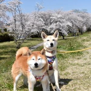 宮川堤で桜散歩♪ vol.3