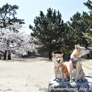 松坂城跡の桜♪ vol.2