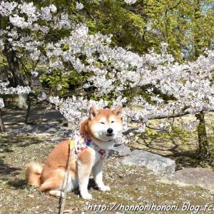 松坂城跡の桜♪ vol.3