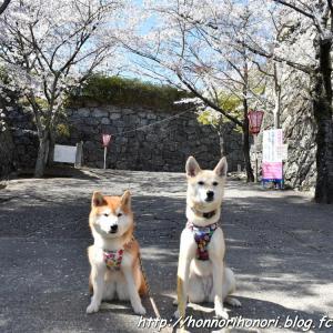 松坂城跡の桜♪ vol.4