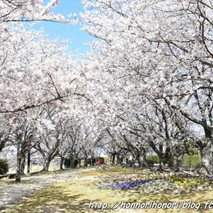 阪内川親水公園の桜♪ vol.1