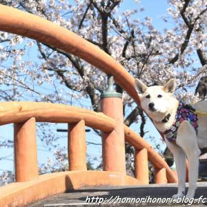 阪内川親水公園の桜♪ vol.2