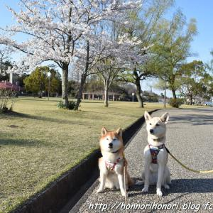 鈴鹿青少年の森の桜♪