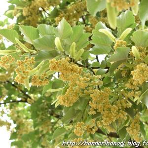 菩提樹の花。 - 鈴鹿市木田町・光明寺 -