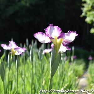 亀山公園の花しょうぶ園へ♪ vol.2