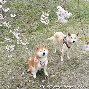 一宮で桜さんぽ♪ vol.1