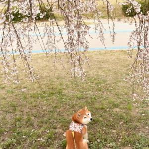 一宮で桜さんぽ♪ vol.2