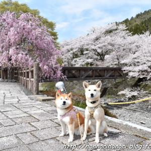 七谷川・和らぎの道で桜散歩♪ vol.2