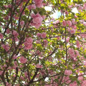 散ってもなお美しい桜