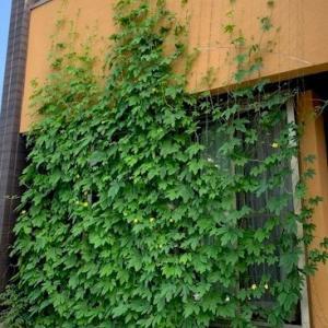 グリーンカーテン2