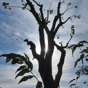 11月16日~19日、庭木の伐採と剪定