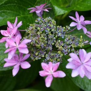 2020年 庭の花だより~開花が進んだ玄関のダンスパーティーと渦紫陽花~♬
