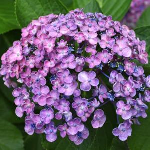 6月16日、渦紫陽花とネジバナ~♪♬