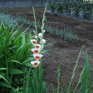 6月21日、梅雨空の早朝散歩と田んぼの様子 & 父の日の花~♬