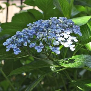 2021年 庭の花だより~ウズアジサイと色濃くなってきたアジサイたち~♪♬