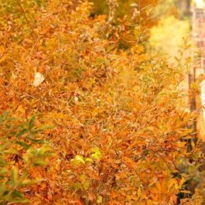 神戸電鉄の紅葉