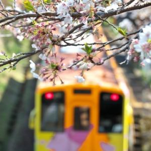 樽見鉄道の桜
