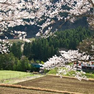 長良川鉄道の桜