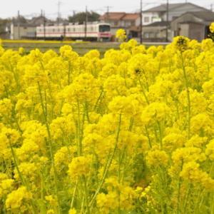 菜の花と神戸電鉄