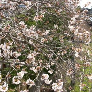 今年の桜初め