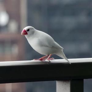 迷子の白文鳥