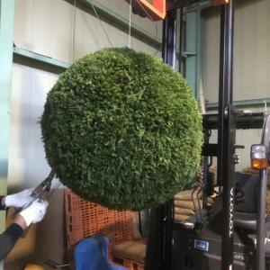 杉玉作り(2)