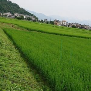 酒米作り~草刈~