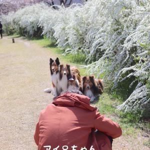 ユキヤナギ散歩。