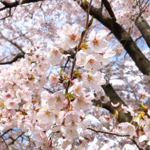 関屋分水路の桜は丁度満開。