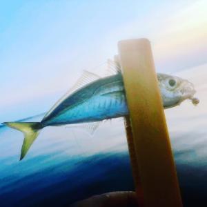 夕まずめ、豆アジを釣る。