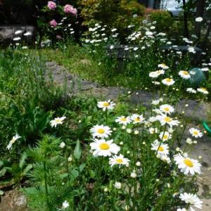 マーガレット full bloom