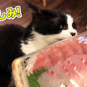 久しぶりのお刺身におしゃべり炸裂な猫【7月のウマウマデー】