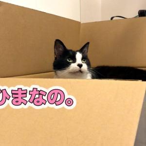 パソコンを邪魔…しない猫【猫背矯正係おむすび】