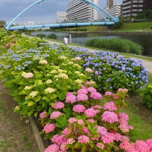 紫陽花を育成中 旧中川の河川敷
