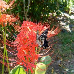 ヒガンバナにアゲハチョウ  彼岸花に揚羽蝶       2009年の今日  9月19日に掲載
