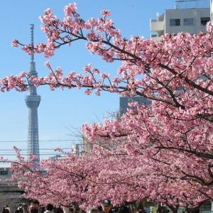 旧中川の河津桜がいよいよ満開です。