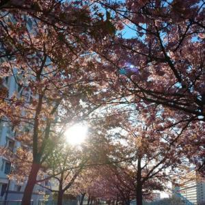 登校前に芝滑り  旧中川の河津桜はまだ見事でした。