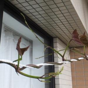 昨日のムラサキ山芋のツル