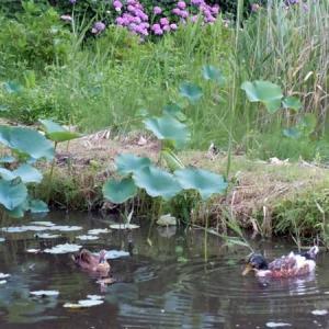 7羽のパパになったマガモが池の先住親分へ出産の報告に参上!         2015年の今日  6月21日に掲載