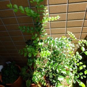 暑さも盛り ベランダの緑は元気です。