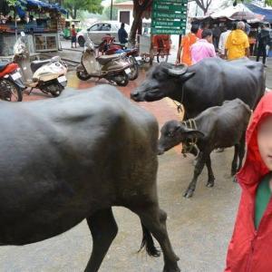 牛とトーキョーから来た少年  この夏のインド・ニューデリーで
