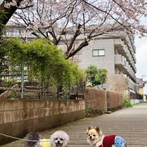 今年の桜♪