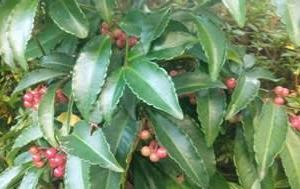 もう山茶花の季節