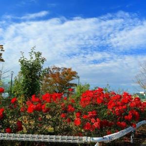 我が町の秋薔薇